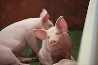Eleven week old weaner piglets, Lancashire, England.