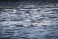 A pair of Snowy egrets probe the low tide mudflats of San Leandro Bay.