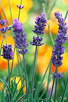 Lavandula angustifolia 'Hidcote' (Lavender) flowering with orange poppies in drought tolerant garden