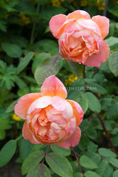 Rose 39 Lady Emma Hamilton 39 Aka 39 Ausbrother 39 Plant