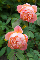 Rose 'Lady Emma Hamilton' aka 'Ausbrother'