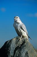 540750007 a captive adult white morph gyrfalcon falco rusticolis perches on a boulder in central colorado