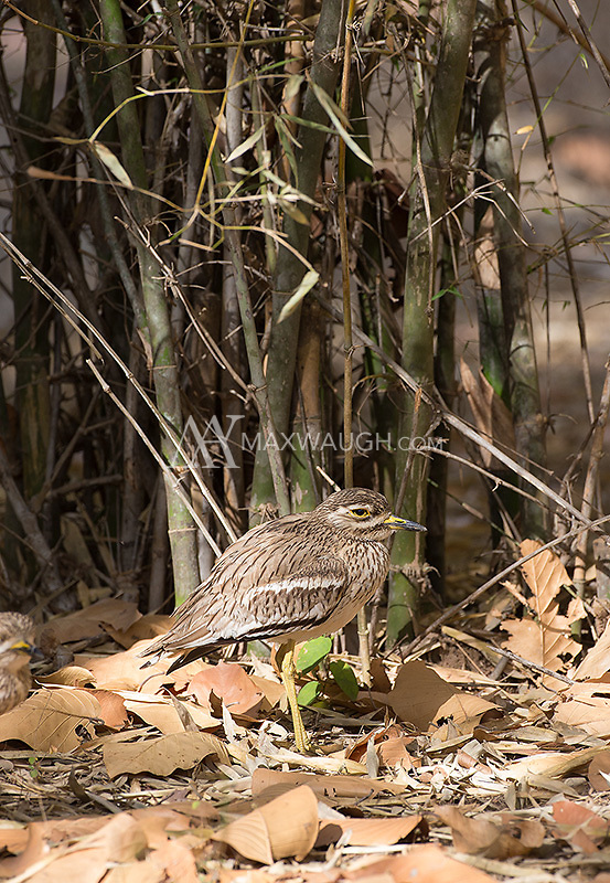 The Eurasian thick-knee is a wading bird, but it's commonly seen in thick brush and grassland, away from water.