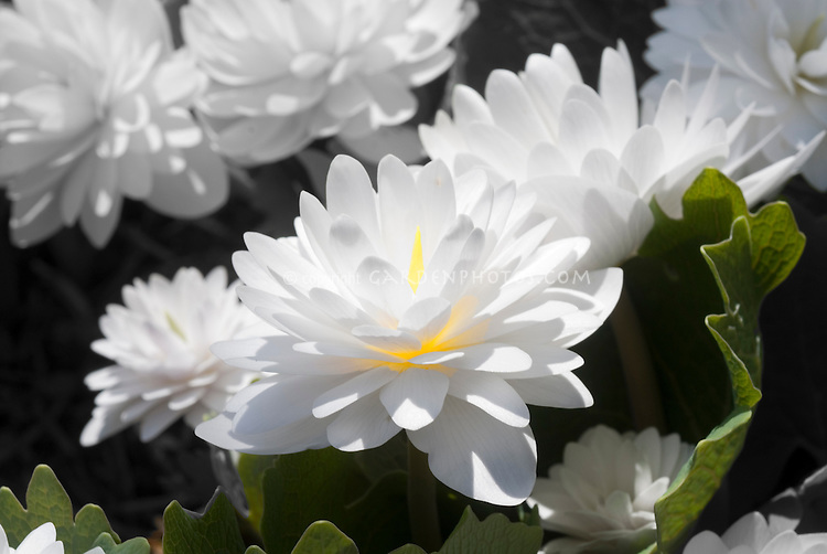 Glowing flower, double Bloodroot (Sanguinaria canadensis 'Plena')
