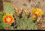 Prickly Pear Cactus, Nopal Cactus, Opuntia, Bandelier National Monument, Pajarito Plateau, Los Alamos, New Mexico