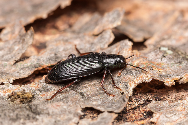 A False Darkling Beetle (Melandrya striata) perches on the bark of a fallen dead tree.