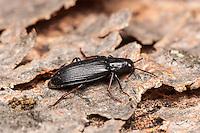 A False Darkling Beetle (Melandrya striata) perches on the bark of a fallen dead tree.