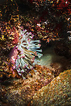 29 January 2016:  A purple-tipped Sea Anemone (Anenthemonae) is seen on the reef at Captain Don's Habitat in Bonaire. Bonaire is known for its pioneering role in the preservation of the marine environment. A part of the Netherland Caribbean Islands, Bonaire is located off the coast of Venezuela and offers excellent scuba diving, snorkeling and windsurfing.  Mandatory Credit: Ed Wolfstein Photo *** RAW (NEF) Image File Available ***