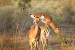 Impalas photographed in Tsavo  East National Park, Kenya