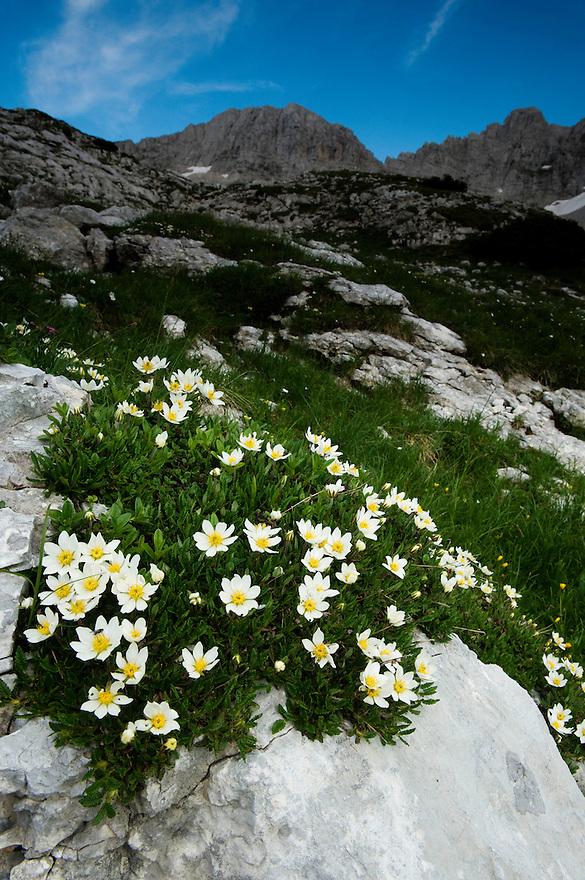 White dryas (Dryas octopetala)<br /> Triglav National Park, Slovenia<br /> July 2009