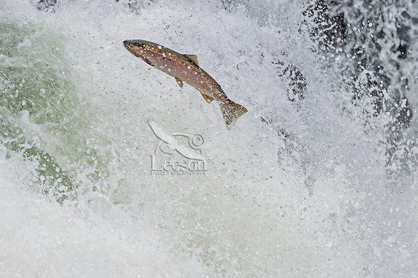 Rainbow Trout or Steelhead (Oncorhychus mykiss) jumping falls on Pacific Northwest river on migration to spawning bed.  Steelhead are rainbow trout that have gone to the ocean for several years.  Steelhead are now classified as salmon.