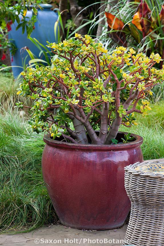 Succulent jade plant in glazed pot in Sherry Merciari garden