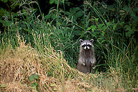 Wild Raccoon (Procyon lotor), standing on Animal Trail and looking out from Forest, BC, British Columbia, Canada