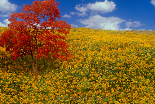 Meadow of goldenrod with a red maple tree and blue sky on idyllic fall day