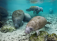 RQ31123-D. Florida Manatees (Trichechus manatus latirostris), resting near a spring to conserve warmth during winter. Though rotund in appearance, manatees lack a thick blubber layer and are therefore vulnerable to cold stress. Florida, USA.<br /> Photo Copyright &copy; Brandon Cole. All rights reserved worldwide.  www.brandoncole.com