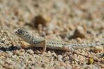Zebra-tailed lizard, Callisaurus draconoides, Red Rock Canyon State Park, California