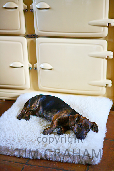 Black and tan Jack Russell terrier pedigree puppy lying on his bed by an Aga cooker, England, United Kingdom