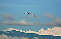 WA08119-00..WASHINGTON - Snow geese flying above Fir Island with the Cascade Mountain Range in the distance.