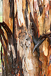Peeling Bark of Tree, Sierra de Andujar Natural Park, Sierra Morena, Andalucia, Spain