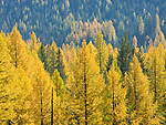 Vibrant fall colors of the Western Larch in autumn. Selkirk Mountains.