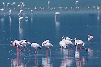 529517003 Lesser Flamingos Phoenicopterus minor WILD.Flock Feeding and Preening in Shallow Lake.Ngorogoro Crater NP, Tanzania