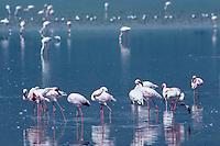 529517003 Lesser Flamingos Phoenicopterus minor WILD.Flock Feeding and Preening in Shallow Lake.Ngorogoro Crater NP, Tanzania