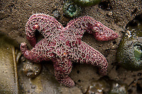A starfish and sea anenomes cling to rocks at Beach 4 near Kalaloch in Olympic National Park, Washington on July 20, 2016. When the tide goes out the animals living on these rocks get stranded out of water until the tide comes back in.