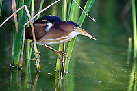 Least Bittern with minnow in beak
