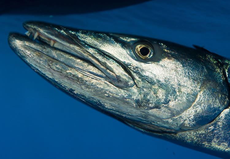 Facial view of a great barracuda ( Sphyraena barracuda ), Fathers reefs, Kimbe Bay