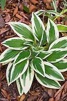 Alstroemeria 'Princess Fabiana' = Zaprifabi variegated foliage in November
