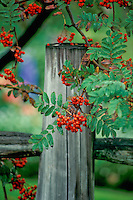 Mountain Ash with red berries and old fence post, New England