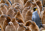 King penguin adult amongst many young, South Georgia Island.