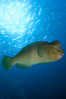 Sipadan, Sabah, Borneo, Malaysia, October 2010. A bumphead parrot fish. 36 kilometers from mainland Semporna lies the Island of Sipadan, one of the worlds most beautiful divesites. Since the island resorts were closed due to environtmetal issues, the resorts of Kapalai and Mabul have been the main basis for diving sipadan. Photo by Frits Meyst/Adventure4ever.com