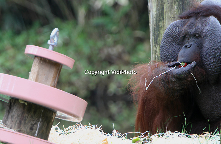Foto: VidiPhoto..APELDOORN - De oudste orang oetan van Europa, Karl, is zaterdag 50 jaar geworden. De imposante mensaap werd door eigenaar Apenheul in Apeldoorn verrast met een vruchtentaart. Slechts weinig orang oetans worden zo oud als Karl. De bejaarde aap heeft inmiddels twintig nakomelingen.