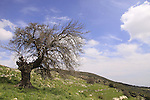 T-106 Black Mulberry on Mount Meron