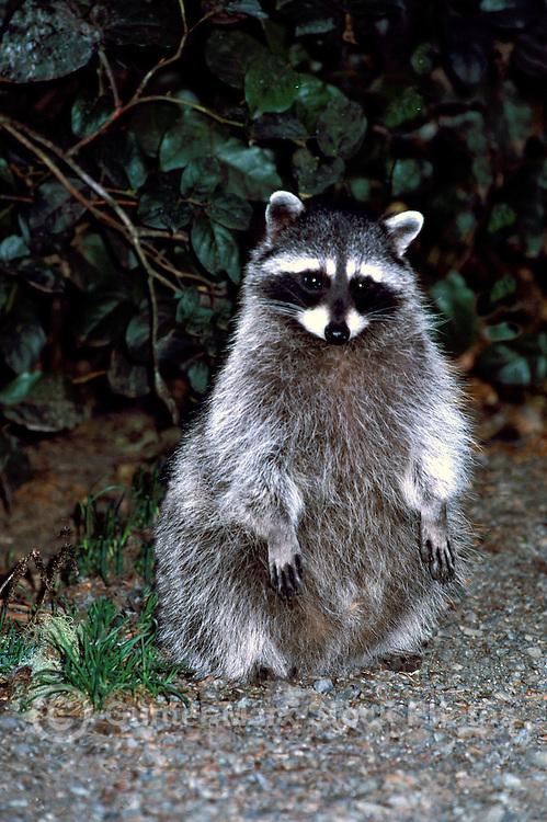 Wild Raccoon (Procyon lotor) standing at Night - North American Wildlife