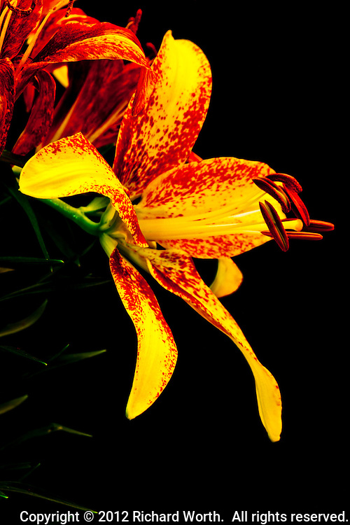 An Asiatic Lilly blossom in profile displays its colorful  yellow and red petals and stamen