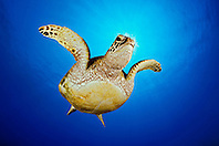 green sea turtle, juvenile, Chelonia mydas, Hanauma Bay Nature Preserve, Oahu, Hawaii, USA, Pacific Ocean (dc)