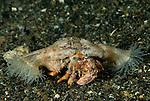hermit crab with anemone Dardanus pedunculatus