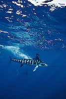 qf2652-D. Striped Marlin (Tetrapturus audax), feeding on Pacific Sardine (Sardinops sagax). Look closely at sardine in mouth. Baja, Mexico, Pacific Ocean..Photo Copyright © Brandon Cole. All rights reserved worldwide.  www.brandoncole.com..This photo is NOT free. It is NOT in the public domain. This photo is a Copyrighted Work, registered with the US Copyright Office. .Rights to reproduction of photograph granted only upon payment in full of agreed upon licensing fee. Any use of this photo prior to such payment is an infringement of copyright and punishable by fines up to  $150,000 USD...Brandon Cole.MARINE PHOTOGRAPHY.http://www.brandoncole.com.email: brandoncole@msn.com.4917 N. Boeing Rd..Spokane Valley, WA  99206  USA.tel: 509-535-3489