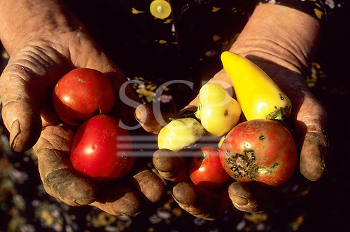Tokay, Hungary. Cracked, mud-stained old hands holding paprika and yellow peppers.