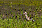 Long-billed Curlew, Newport Back Bay, North America