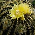 Pale yellow flowers of Parodia warasii cactus, end June.