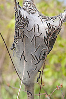 Nest of Eastern Tent Caterpillars Malacosoma americanum in tree in spring