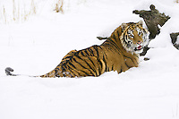 Siberian Tiger lying in the snow while watching over its shoulder - CA