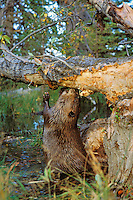 American Beaver (Castor canadensis) eating bark off cottonwood tree it has fallen.