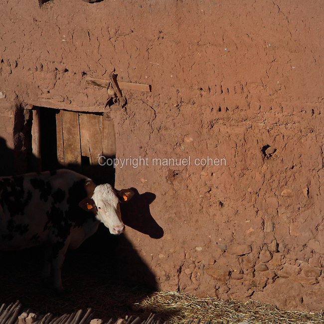Cow in front of doorway of house at Ksar Ait Ben Haddou, earthen fortified city, Ounila valley, Ouarzazate province, Morocco. The ksar is a group of earthen houses surrounded by high defensive walls with corner towers, in traditional pre-Saharan style.  The village stands above the Oued Marghen river in the High Atlas and was a stop on the caravan route from the Sahara to Marrakech. It was founded in the 17th century and has been a UNESCO World Heritage Site since 1987. Picture by Manuel Cohen