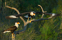 511580090 a wild pair of crested caracaras caracara plancus perch on a dead tree snag as one takes flight on a private ranch in the rio grande valley of texas