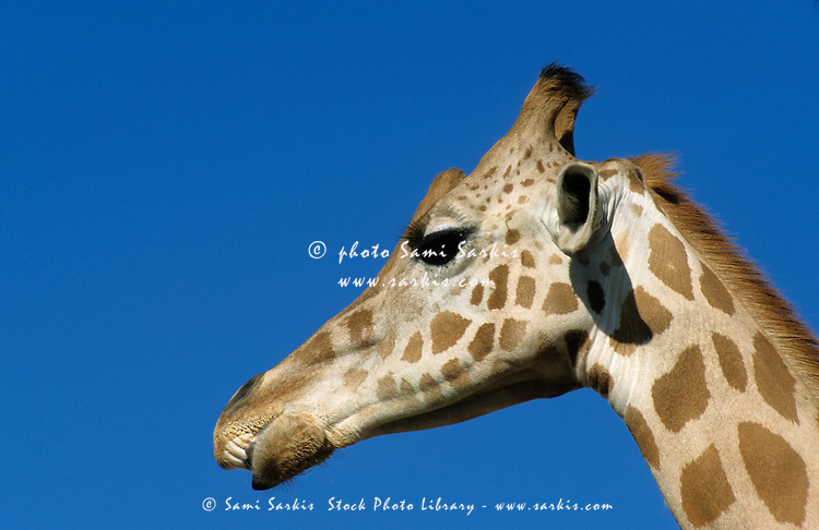 Head of a giraffe (Giraffa camelopardalis) against a blue sky.