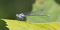 Powdered Dancer (Argia moesta) Damselfly - Male, Somerset County, New Jersey